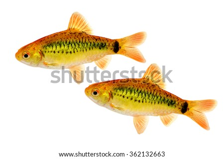 Barbodes stock photos images pictures shutterstock for Gold barb fish