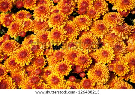 Gold chrysanthemums bloom in a group. - stock photo