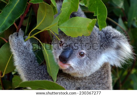 GOLD COAST, AUS - NOV 04 2014:Baby cub Koala in Australia Currumbin Wildlife Sanctuary. The sanctuary now houses one of the largest collections of Australian native species in the world. - stock photo