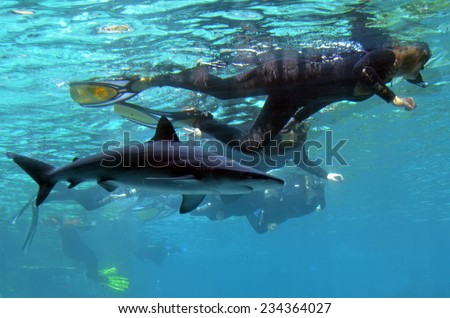 GOLD COAST, AUS -  NOV 06 2014:Visitors dive with sharks in Shark Bay touch pool at Sea World Gold Coast Australia.It is the world's largest man-made lagoon system for sharks. - stock photo