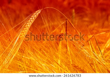 Gold Crop fields of barley - stock photo