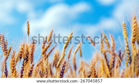 gold ears of wheat under blue sky. soft focus on field - stock photo