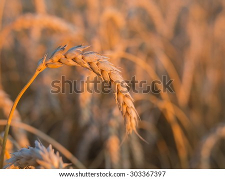 gold ears of wheat under sky, shallow depth of field. - stock photo