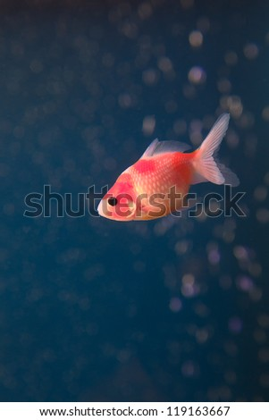 gold fish in middle water with bubble water background - stock photo