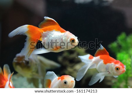 Gold Fish in the tank - stock photo