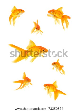Gold fish isolated on a white background - stock photo