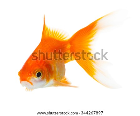 Gold fish isolated on white background - stock photo