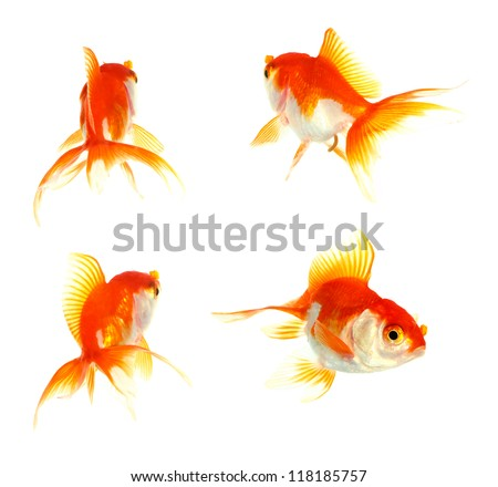 Gold fish. Isolation on the white - stock photo