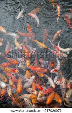 gold fish pond of japanese house garden - stock photo