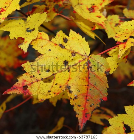 Gold maple leaves with red leaf vein fall colors - stock photo