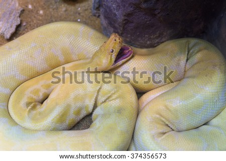 Gold or yellow Python, Albino snake, open mouth - stock photo