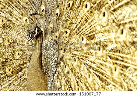 gold peacock - stock photo