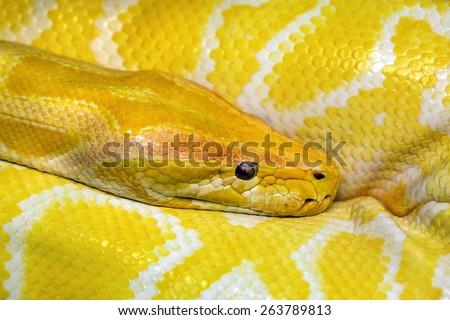 Gold Python,Albino snake. - stock photo