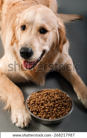Gold retriever with petfood - stock photo