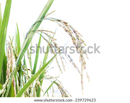 gold rice plant in rice field at Thailand - stock photo
