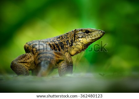 Gold tegu, Tupinambis teguixin, big reptile in the nature habitat, green exotic tropic animal in the green forest, Trinidad and Tobago - stock photo