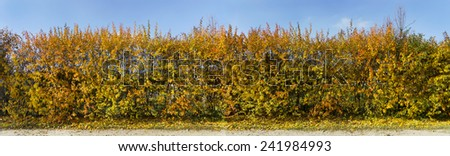 Golden and yellow autumn bushes as a green hedge against the cyan sky. Panoramic image from several frames. Sunny day - stock photo