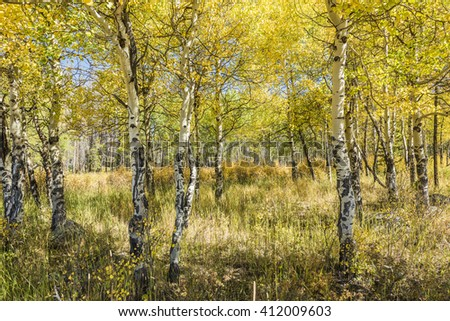 Golden Aspen Forest in the Rocky Mountains in Colorado - stock photo