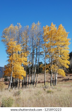 Golden Aspen Trees - A cluster of aspen trees, scientific name populus tremuloides, show off their golden splendor on an October afternoon in Colorado. - stock photo