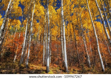 Golden aspens and red Oak brush with a blue sky/ Colors in a Line - stock photo