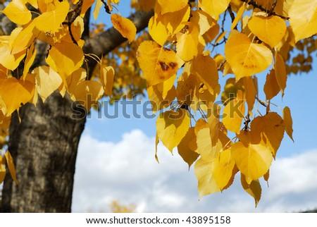 golden autumn aspen leaves on the blue sky, Edmonton, Alberta, Canada - stock photo