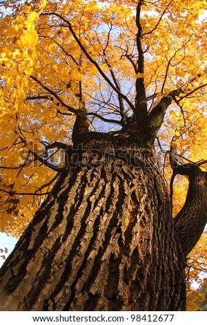 golden autumn tree - stock photo