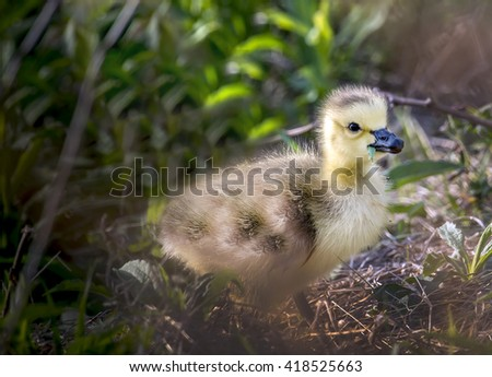 Golden Baby Canada Goose eating a leaf in the grass - stock photo