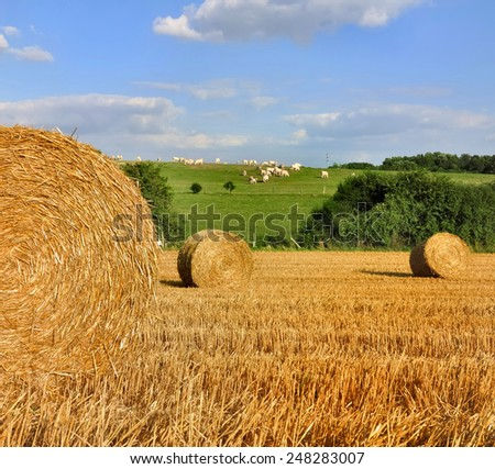golden bales in harvested field and  cows away  - stock photo