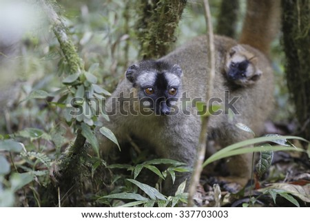 Golden bamboo lemur close up on a green forest in Madagascar wildlife park. - stock photo