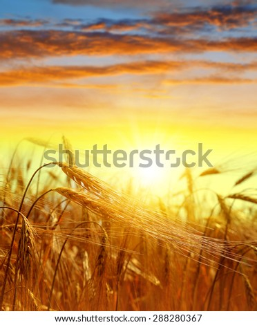 golden barley at sunset - stock photo