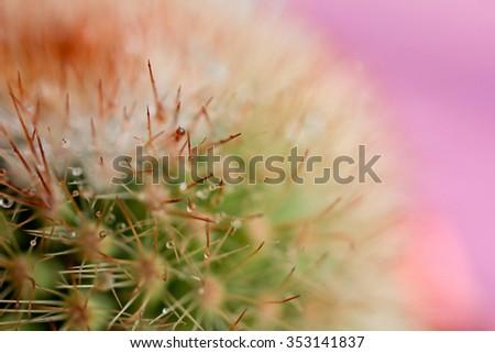 Golden barrel cactus Echinocactus grusonii. nice shot - stock photo