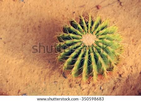 Golden Barrel Cactus in a Cactus garden - stock photo