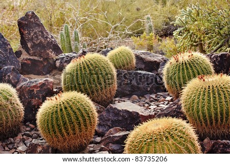 Golden Barrel Cactuses, Echinocactus, Desert Botanical Garden Papago Park Sonoran Desert Phoenix Arizona - stock photo
