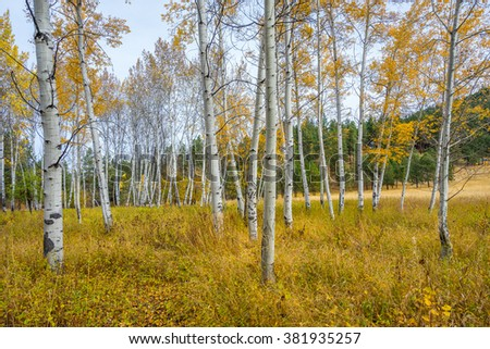 Golden birch grove in autumn,  Mountain Home Road, LEAVENWORTH AREA, Washington state - stock photo