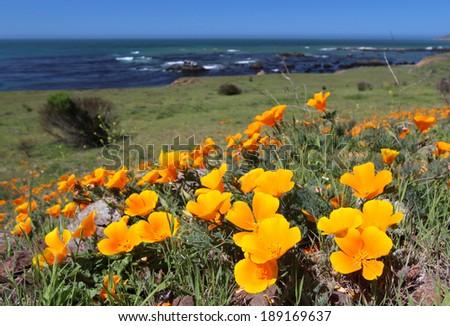 Golden California state poppy flower - stock photo