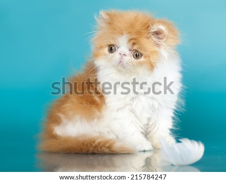 Golden Chinchilla Persian kitten - stock photo