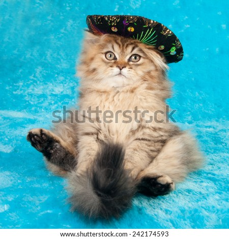 Golden Chinchilla Persian kitten sitting on blue fake faux fur wearing miniature sombrero hat\  - stock photo