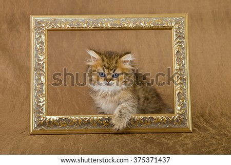 Golden Chinchilla Persian kitten stepping through ornate gold picture frame against bronze gold background  - stock photo