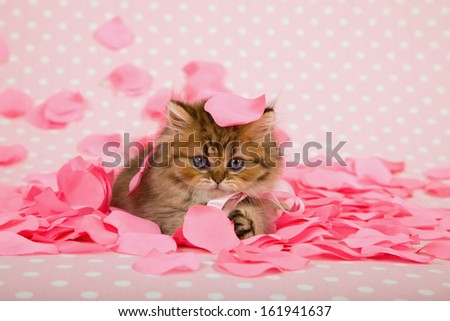 Golden Chinchilla Persian kitten with pink rose petals on pink background for Valentine theme  - stock photo