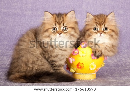 Golden Chinchilla Persian kittens with yellow Easter egg against light purple lilac background - stock photo