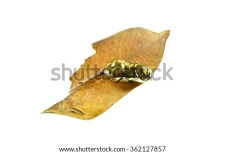 Golden chrysalis of a Common crow butterfly (Euploea core) - stock photo