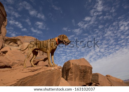 golden color hunting dog standing on the top of a red cliff - stock photo