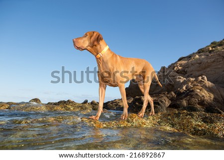 golden color hunting door standing at the water rocky shore - stock photo