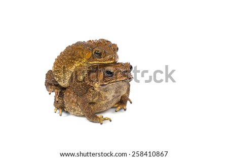 Golden color skin and orange neck toad are mating on White background, Toads are associated with drier skin and more terrestrial habitats than animals commonly called frogs - stock photo