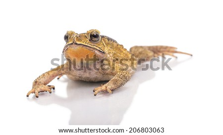Golden color skin and orange neck toad flop on White background. Toads are associated with drier skin and more terrestrial habitats than animals commonly called frogs - stock photo
