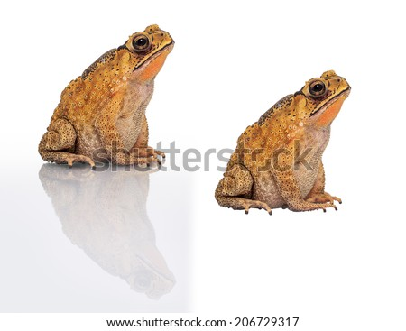 Golden color skin and orange neck toad on White background and isolated . Toads are associated with drier skin and more terrestrial habitats than animals commonly called frogs - stock photo