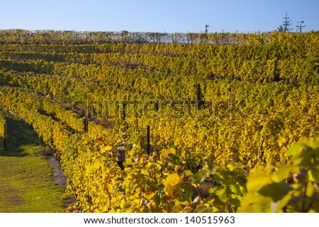 Golden-colored vineyard in dramatic sunlight - stock photo