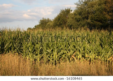 Golden Corn Crop late summer in Michigan - stock photo