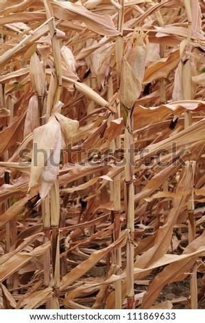 Golden corn field - stock photo