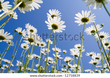 Golden daisies close-up against clear blue sky. - stock photo